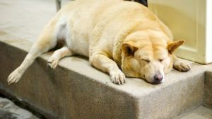 Overweight dog file