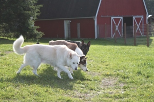 Kenya, Rex, Pixie at Hidden Creek Farm