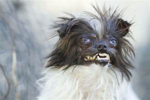 Courtesy:World's Ugliest Dog Contest